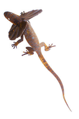 Frill Neck Lizard   large